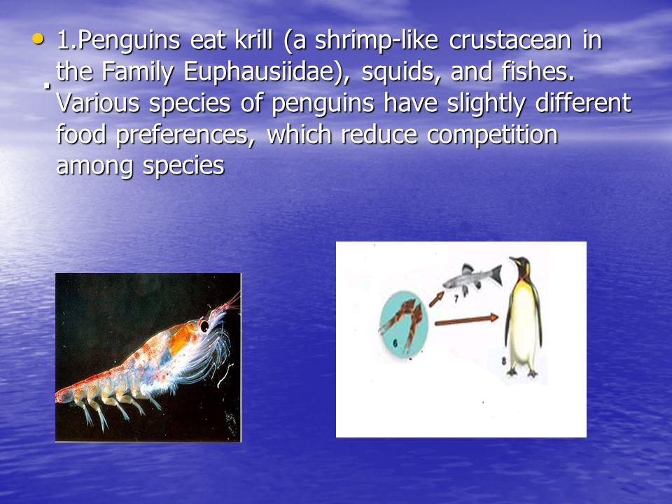 . 1.Penguins eat krill (a shrimp-like crustacean in the Family Euphausiidae), squids, and fishes. Various species of penguins have slightly different
