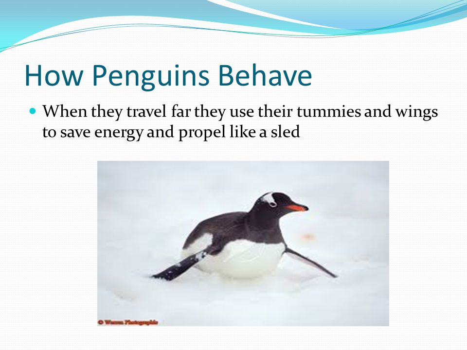 How Penguins Behave When they travel far they use their tummies and wings to save energy and propel like a sled