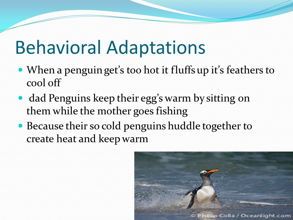 Behavioral Adaptations When a penguin get's too hot it fluffs up it's feathers to cool off dad Penguins keep their egg's warm by sitting on them while the mother goes fishing Because their so cold penguins huddle together to create heat and keep warm
