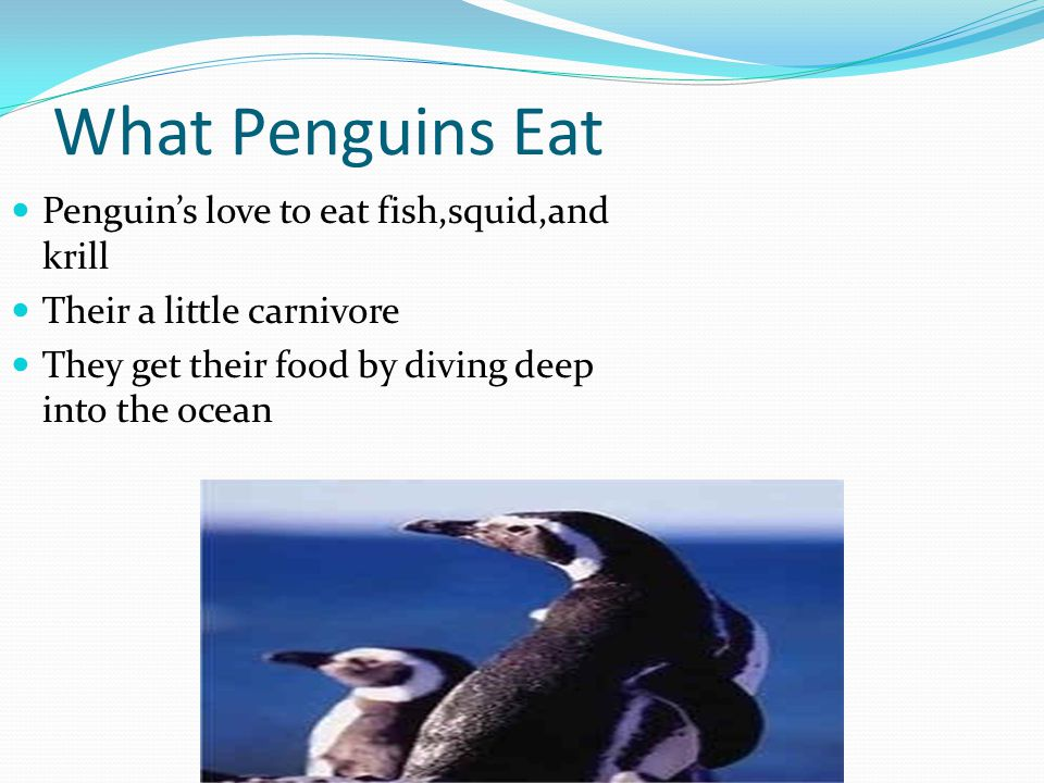 What Penguins Eat Penguin's love to eat fish,squid,and krill Their a little carnivore They get their food by diving deep into the ocean