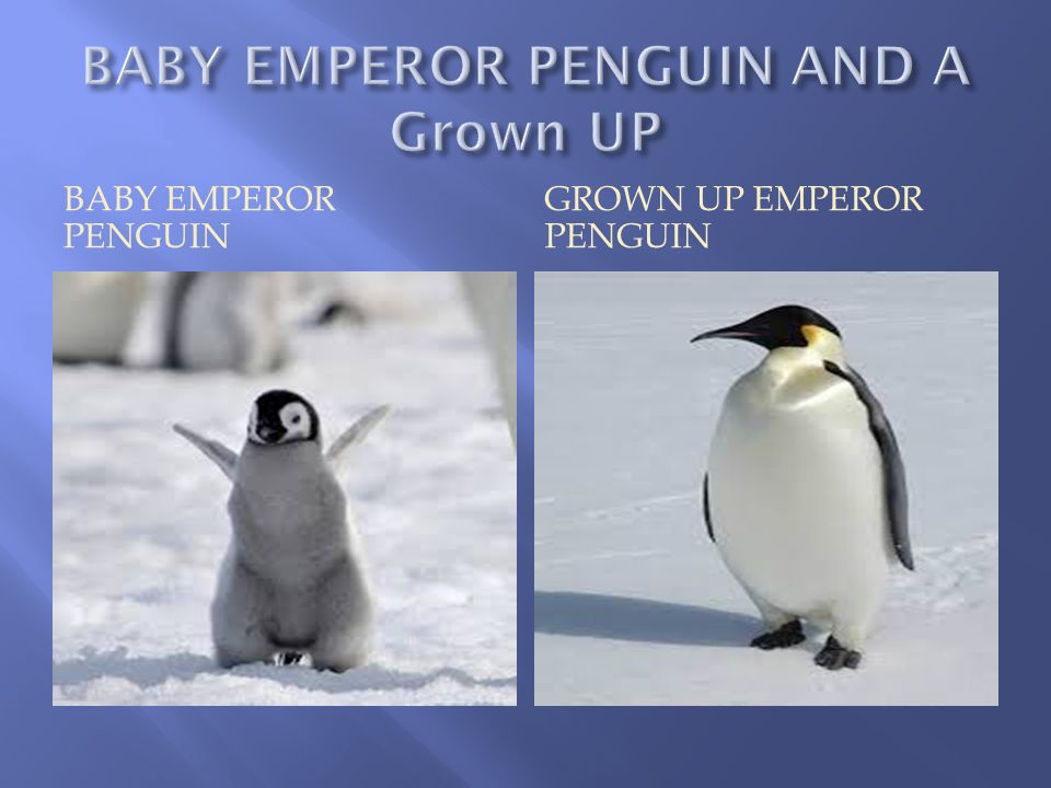 BABY EMPEROR PENGUIN GROWN UP EMPEROR PENGUIN