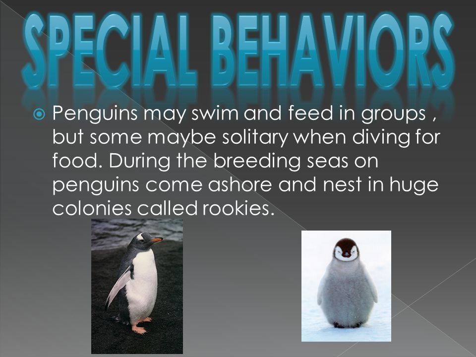  Penguins may swim and feed in groups, but some maybe solitary when diving for food.