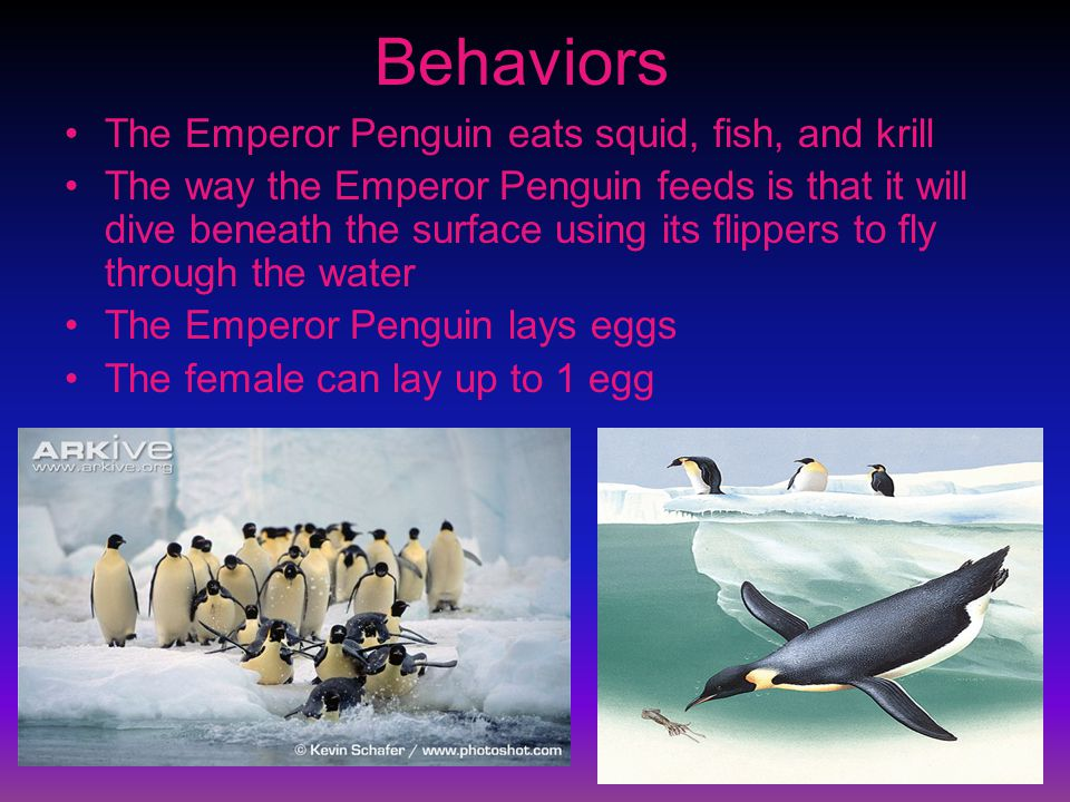Behaviors The Emperor Penguin eats squid, fish, and krill The way the Emperor Penguin feeds is that it will dive beneath the surface using its flippers to fly through the water The Emperor Penguin lays eggs The female can lay up to 1 egg