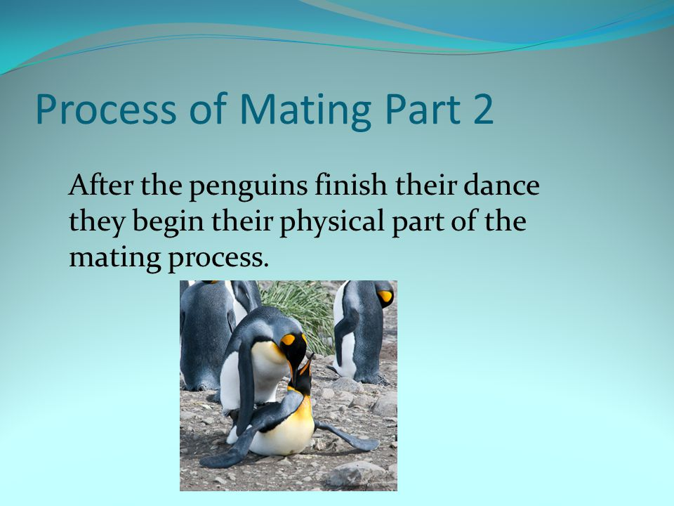 Process of Mating Part 2 After the penguins finish their dance they begin their physical part of the mating process.