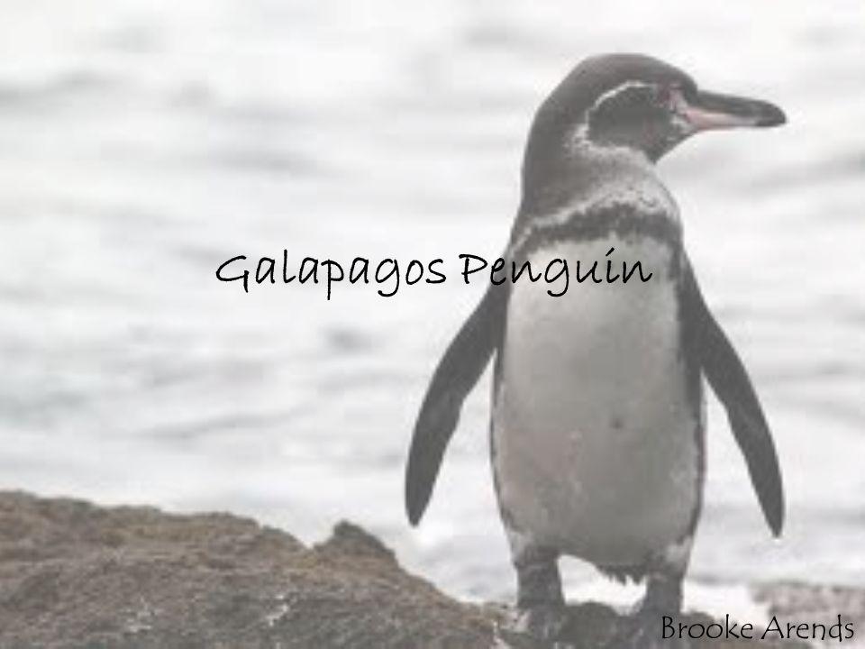 Galapagos Penguin Brooke Arends