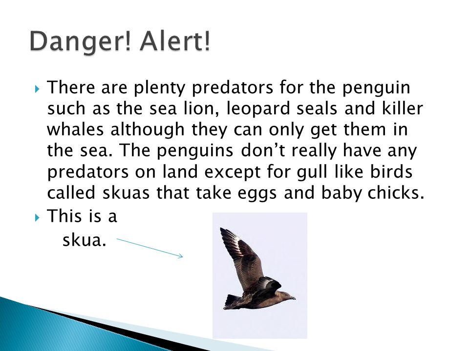  There are plenty predators for the penguin such as the sea lion, leopard seals and killer whales although they can only get them in the sea.