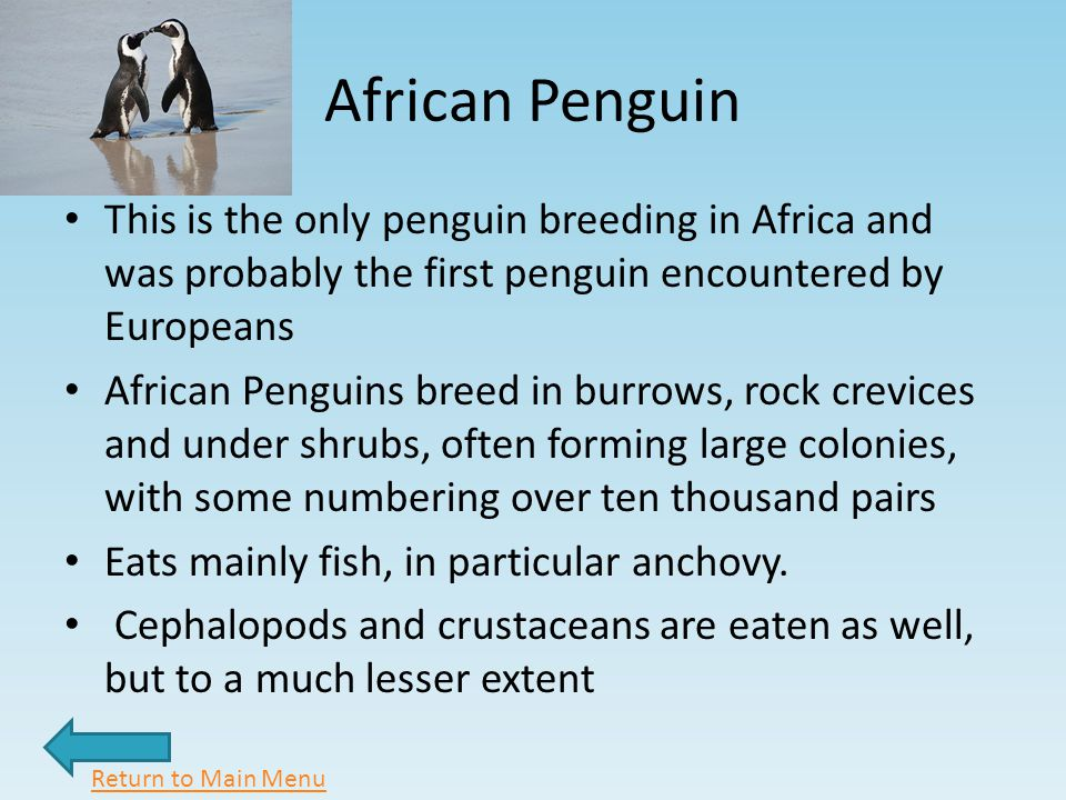 African Penguin This is the only penguin breeding in Africa and was probably the first penguin encountered by Europeans African Penguins breed in burrows, rock crevices and under shrubs, often forming large colonies, with some numbering over ten thousand pairs Eats mainly fish, in particular anchovy.