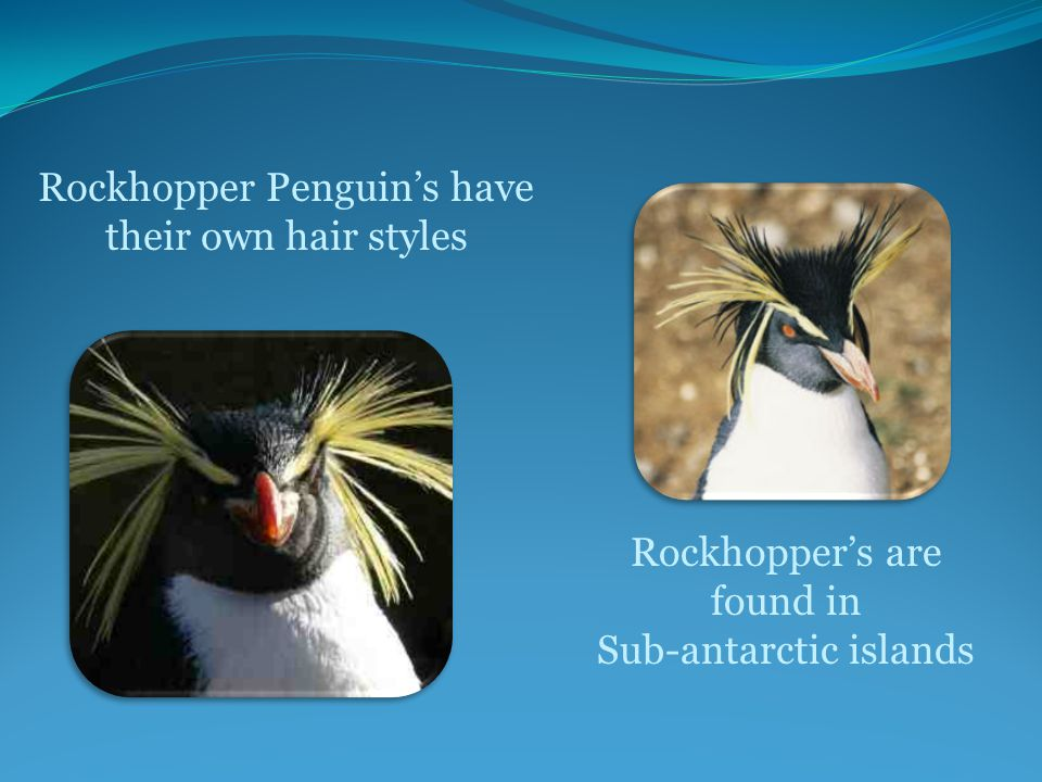 Rockhopper Penguin's have their own hair styles Rockhopper's are found in Sub-antarctic islands