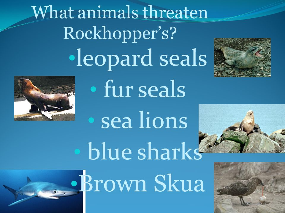 leopard seals fur seals sea lions blue sharks Brown Skua What animals threaten Rockhopper's?