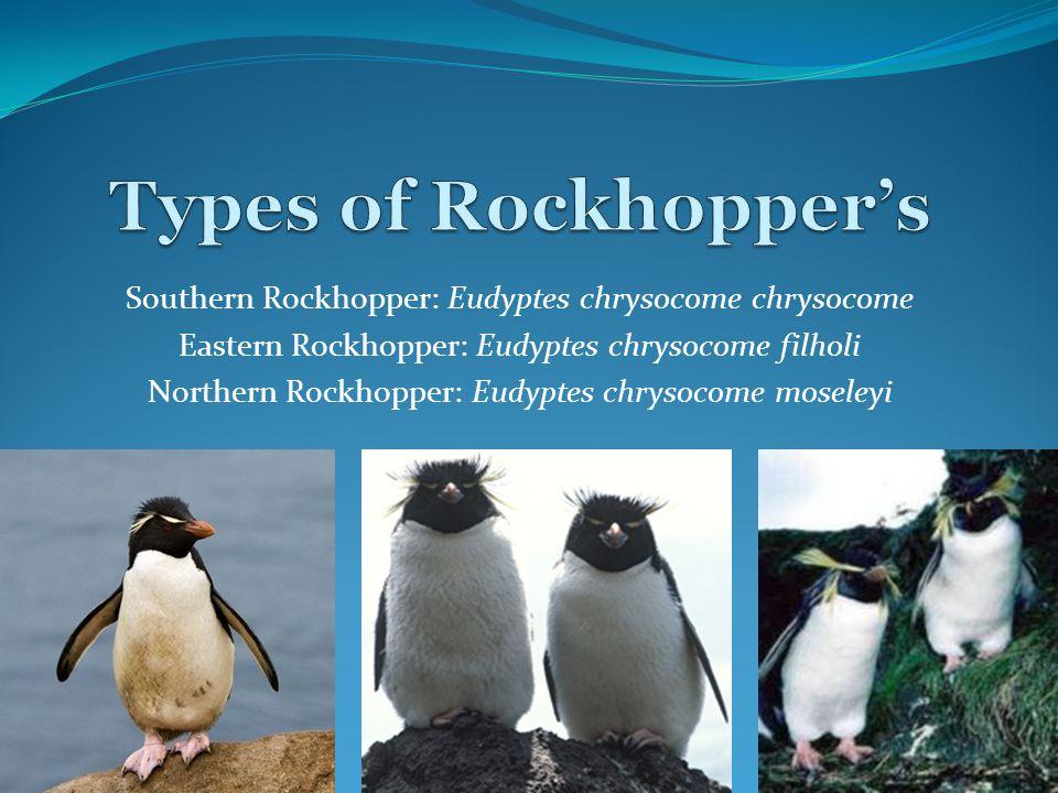 Southern Rockhopper: Eudyptes chrysocome chrysocome Eastern Rockhopper: Eudyptes chrysocome filholi Northern Rockhopper: Eudyptes chrysocome moseleyi