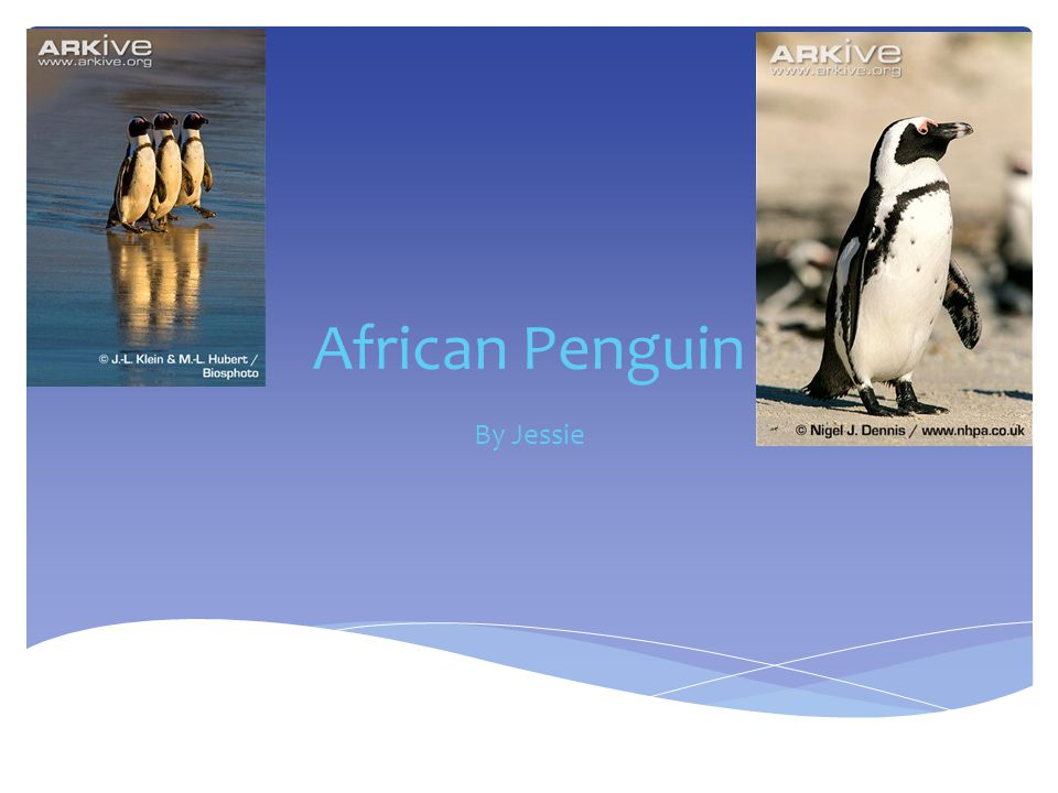 African Penguin By Jessie