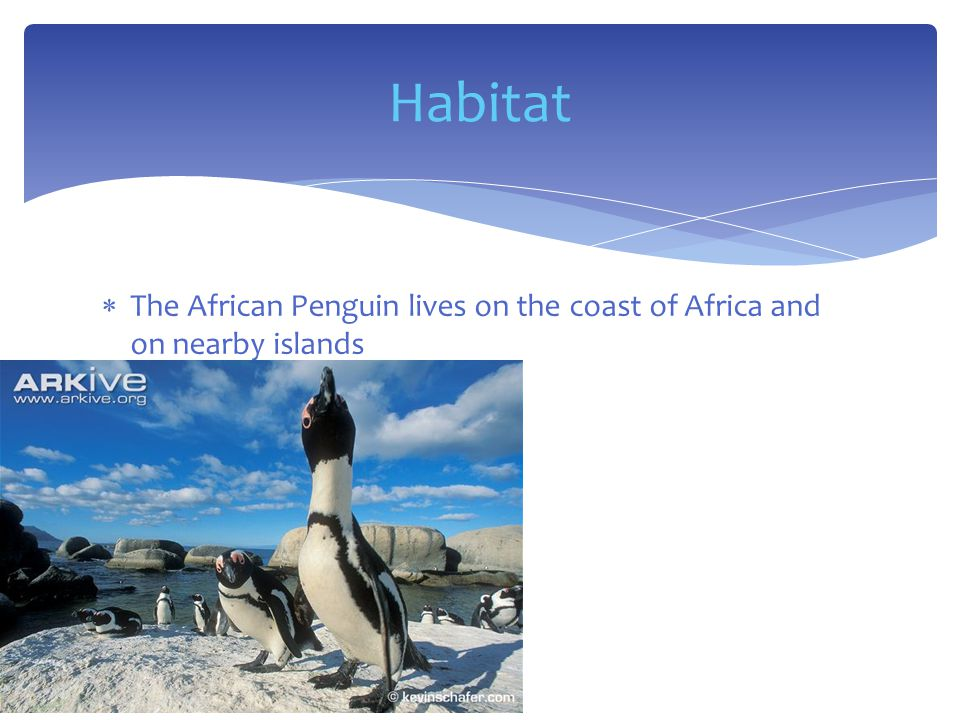  The African Penguin lives on the coast of Africa and on nearby islands Habitat