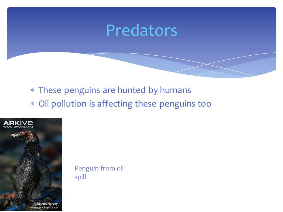  These penguins are hunted by humans  Oil pollution is affecting these penguins too Predators Penguin from oil spill