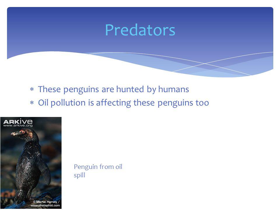  Fish  Krill  Squid Diet Penguin video