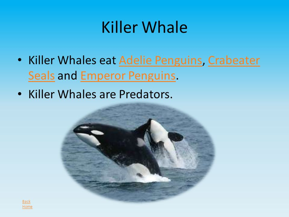 Killer Whale Killer Whales eat Adelie Penguins, Crabeater Seals and Emperor Penguins.Adelie PenguinsCrabeater SealsEmperor Penguins Killer Whales are