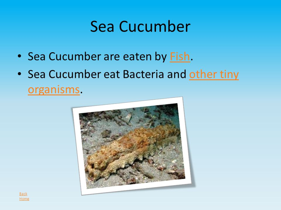 Sea Cucumber Sea Cucumber are eaten by Fish.Fish Sea Cucumber eat Bacteria and other tiny organisms.other tiny organisms Back Home