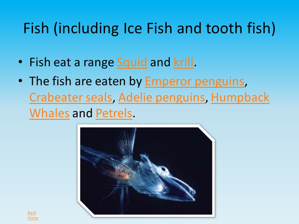 Fish (including Ice Fish and tooth fish) Fish eat a range Squid and krill.Squidkrill The fish are eaten by Emperor penguins, Crabeater seals, Adelie penguins, Humpback Whales and Petrels.Emperor penguins Crabeater sealsAdelie penguinsHumpback WhalesPetrels Back Home