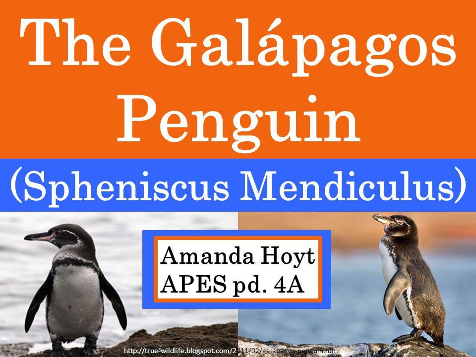 The Galápagos Penguin (Spheniscus Mendiculus) Amanda Hoyt APES pd.