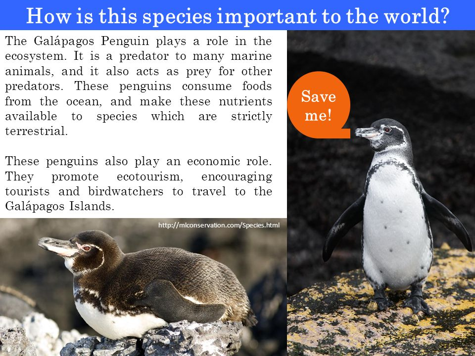 How is this species important to the world. The Galápagos Penguin plays a role in the ecosystem.