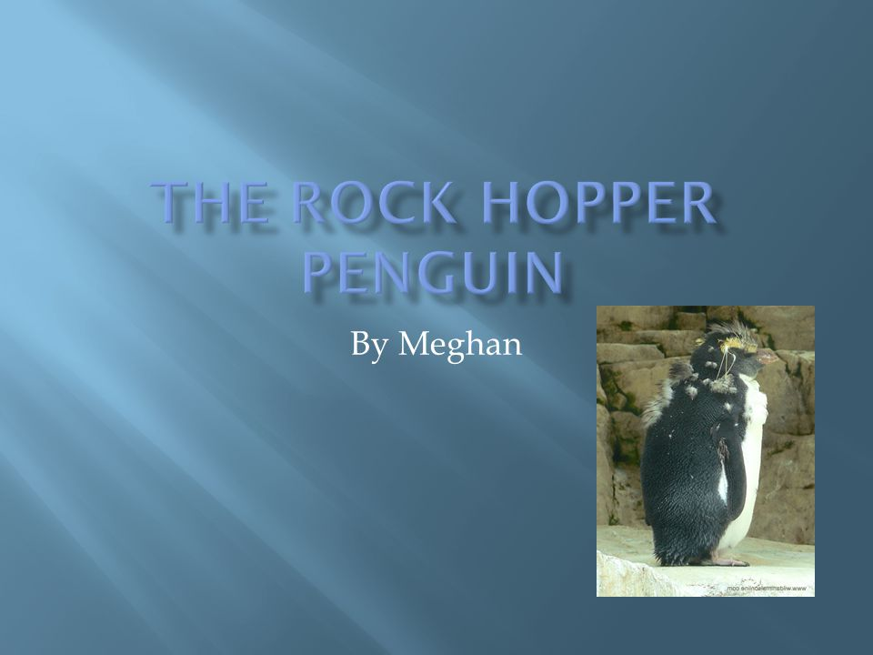  The Rock hopper penguin lives on the islands north of Antarctica, from Chile to new Zealand.