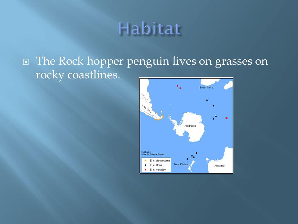  The Rock hopper penguin lives on grasses on rocky coastlines.