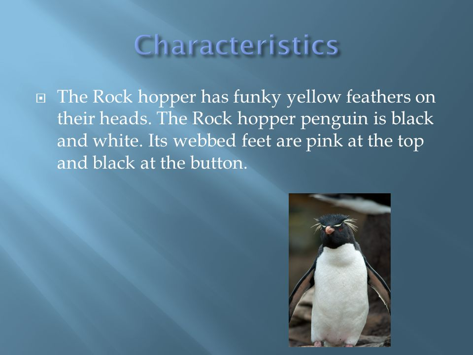  Rock hopper penguins are meat eaters.
