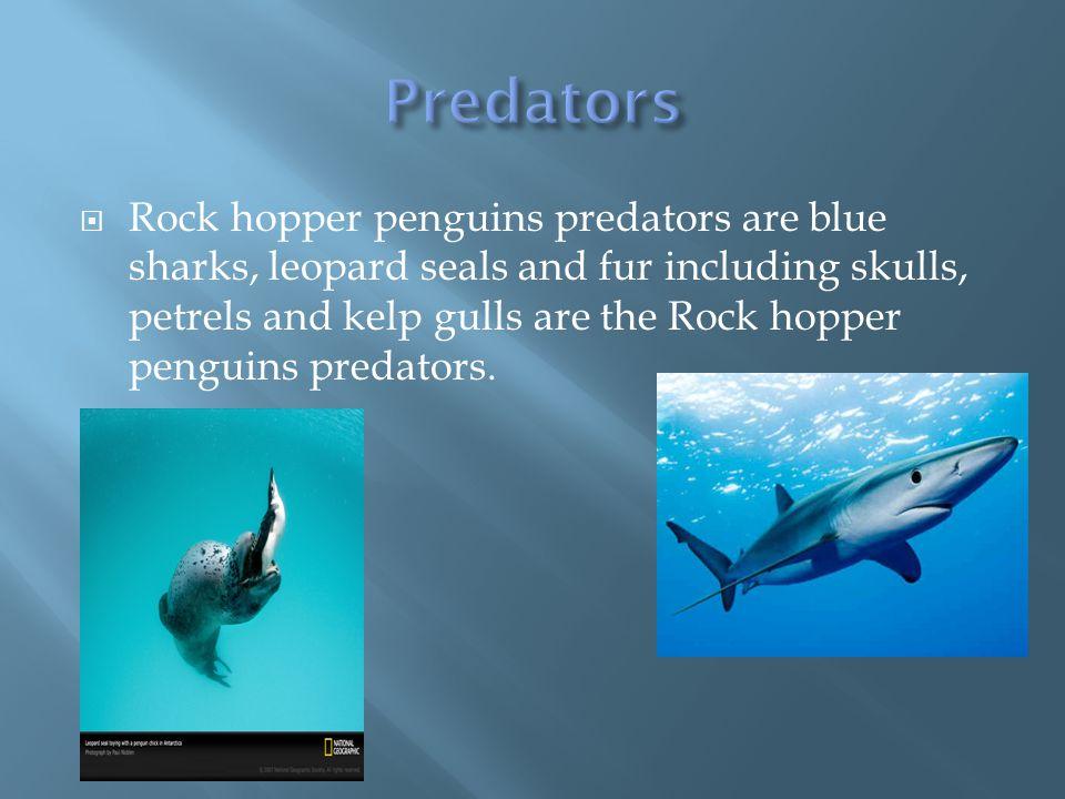  Rock hopper penguins predators are blue sharks, leopard seals and fur including skulls, petrels and kelp gulls are the Rock hopper penguins predators.