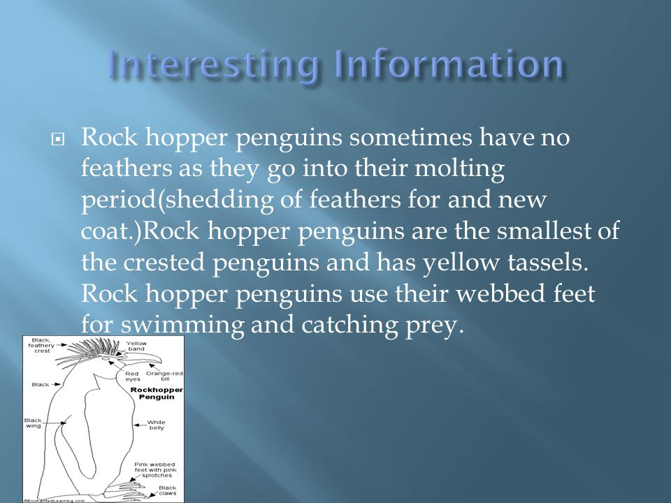  Rock hopper penguin has its breeding site on rocky cliffs lifecycle of an rock hopper penguin breeds during the summer mouths.