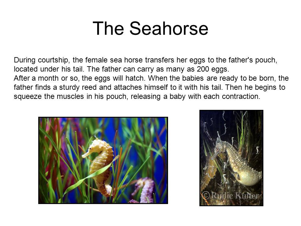 The Seahorse During courtship, the female sea horse transfers her eggs to the father s pouch, located under his tail.