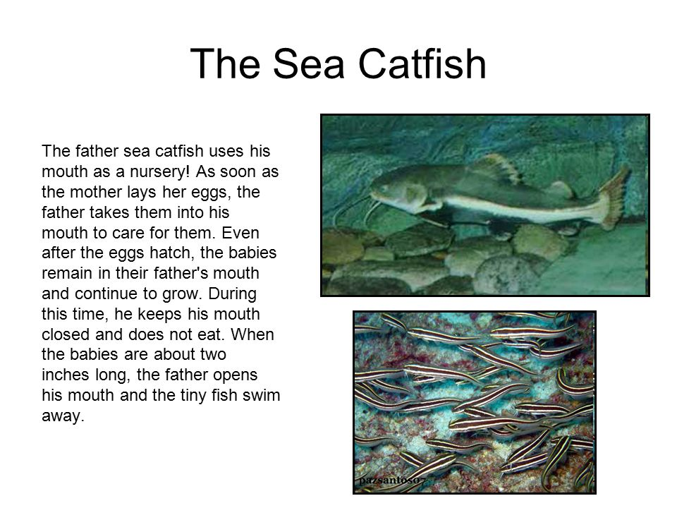 The Sea Catfish The father sea catfish uses his mouth as a nursery.