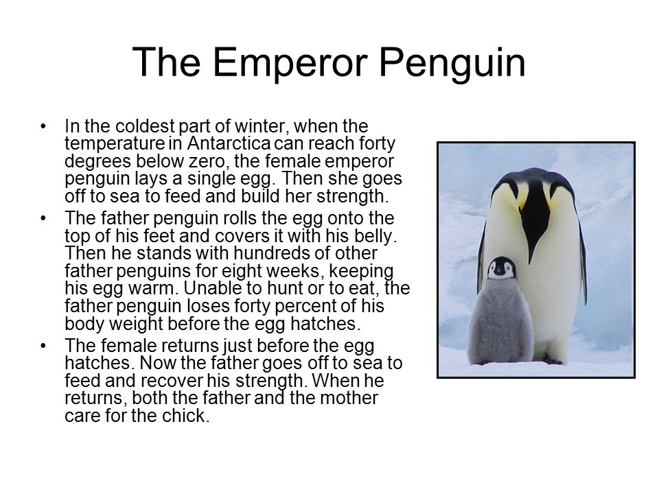 The Emperor Penguin In the coldest part of winter, when the temperature in Antarctica can reach forty degrees below zero, the female emperor penguin lays a single egg.