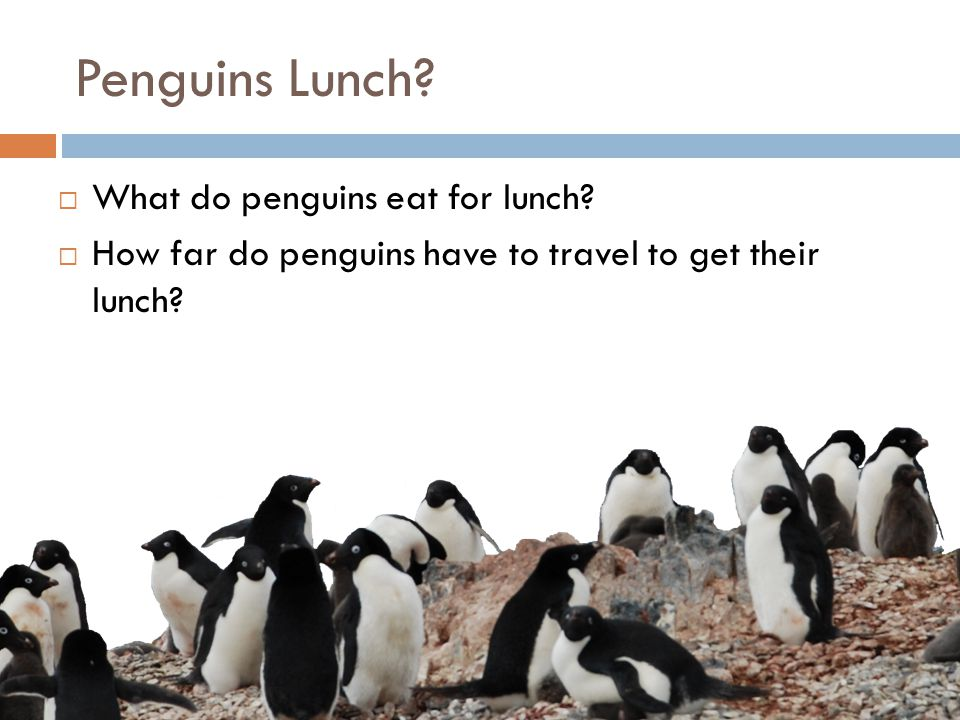Penguins Lunch.  What do penguins eat for lunch.