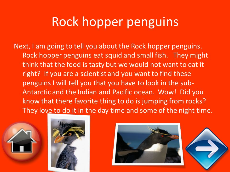 Rock hopper penguins Next, I am going to tell you about the Rock hopper penguins. Rock hopper penguins eat squid and small fish. They might think that