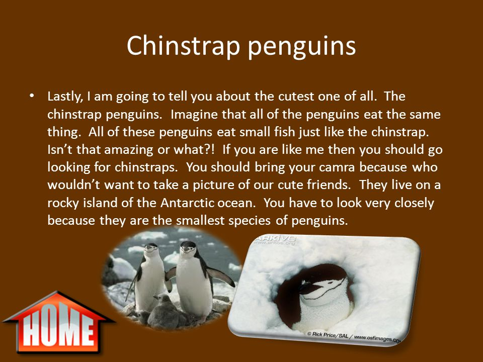 Chinstrap penguins Lastly, I am going to tell you about the cutest one of all. The chinstrap penguins. Imagine that all of the penguins eat the same t