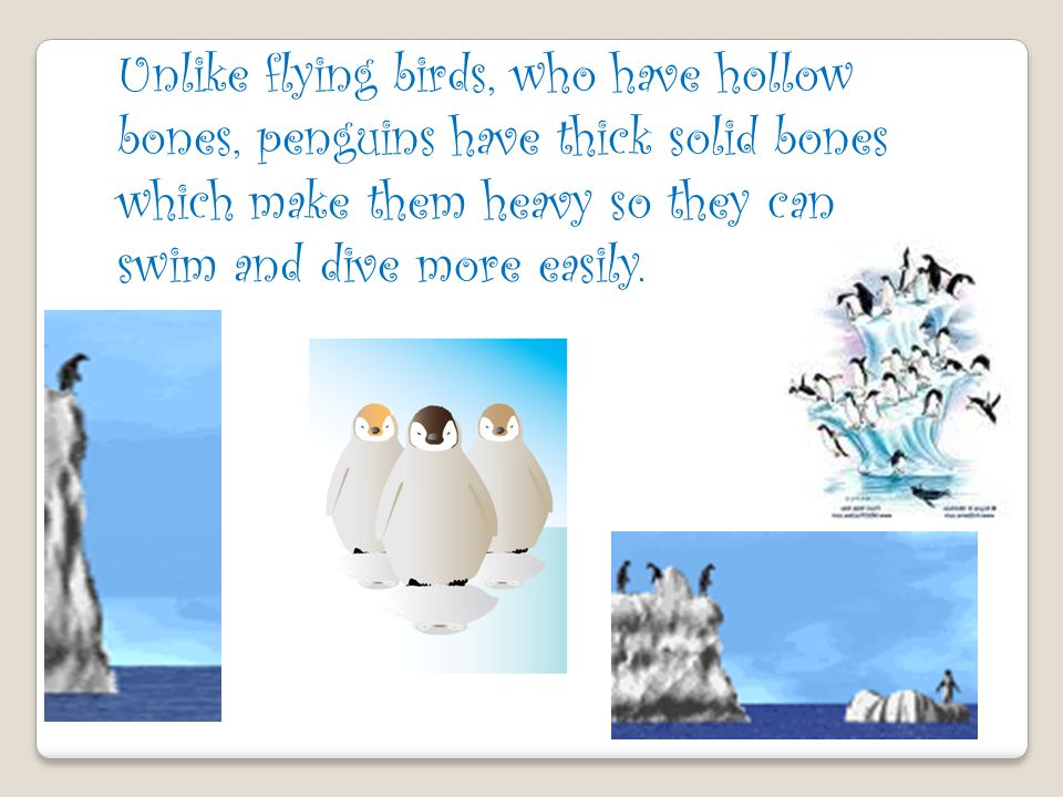 Unlike flying birds, who have hollow bones, penguins have thick solid bones which make them heavy so they can swim and dive more easily.
