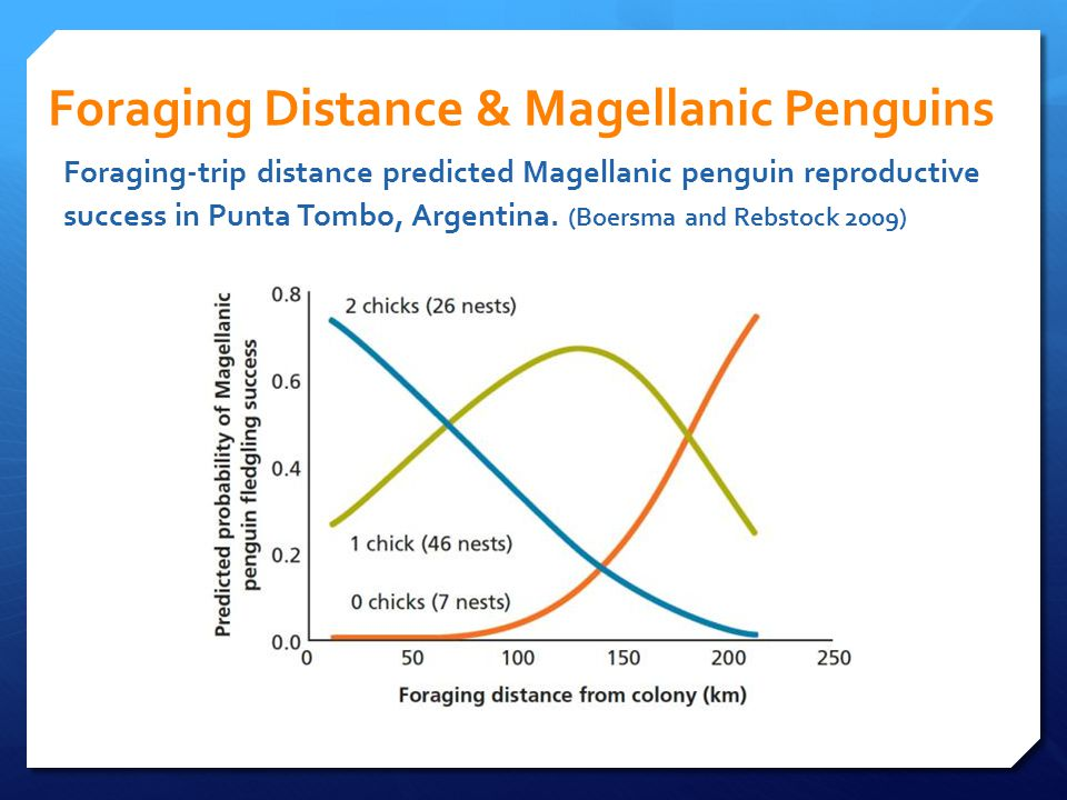Foraging Distance & Magellanic Penguins Foraging-trip distance predicted Magellanic penguin reproductive success in Punta Tombo, Argentina. (Boersma a