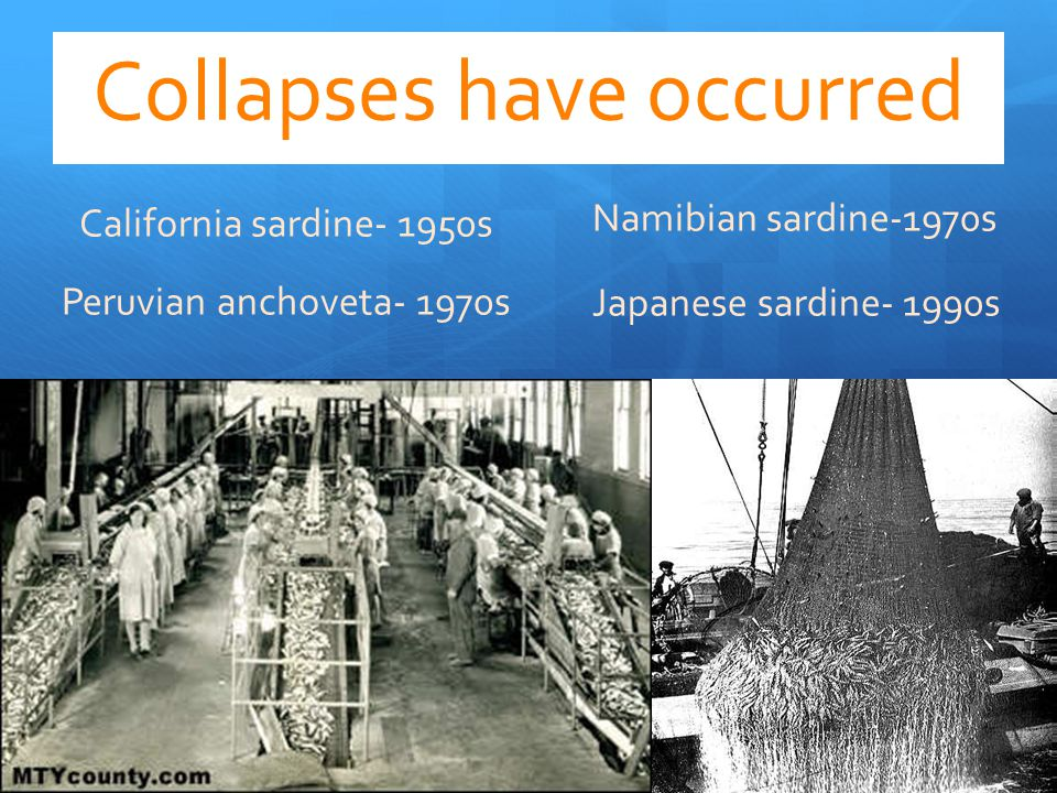 Collapses have occurred California sardine- 1950s Peruvian anchoveta- 1970s Namibian sardine-1970s Japanese sardine- 1990s