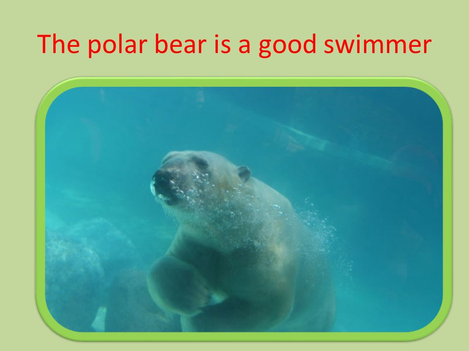 The polar bear is a good swimmer