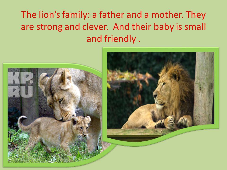 The lion's family: a father and a mother. They are strong and clever.
