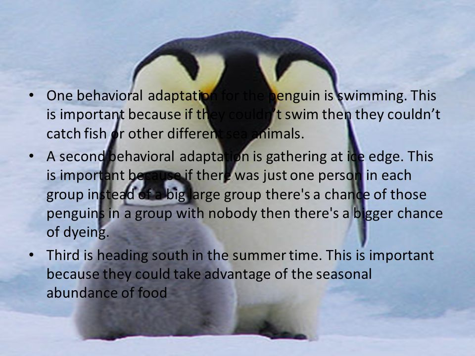 Behavioral adaptation One behavioral adaptation for the penguin is swimming.