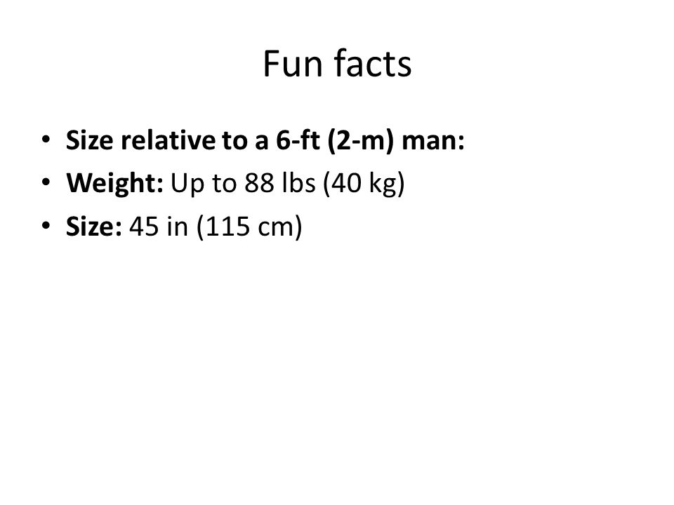 Fun facts Size relative to a 6-ft (2-m) man: Weight: Up to 88 lbs (40 kg) Size: 45 in (115 cm)