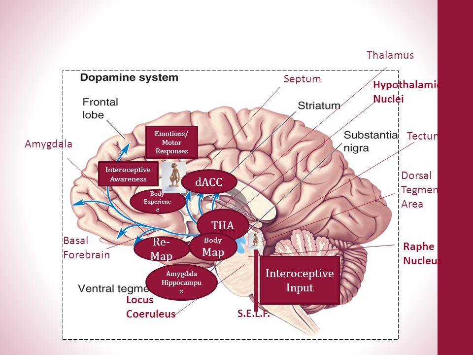 Hypothalamus Basal Forebrain Locus Coeruleus Raphe Nucleus Dorsal Tegmental Area Tectum Hypothalamic Nuclei Septum Amygdala Thalamus S.E.L.F. Interoce