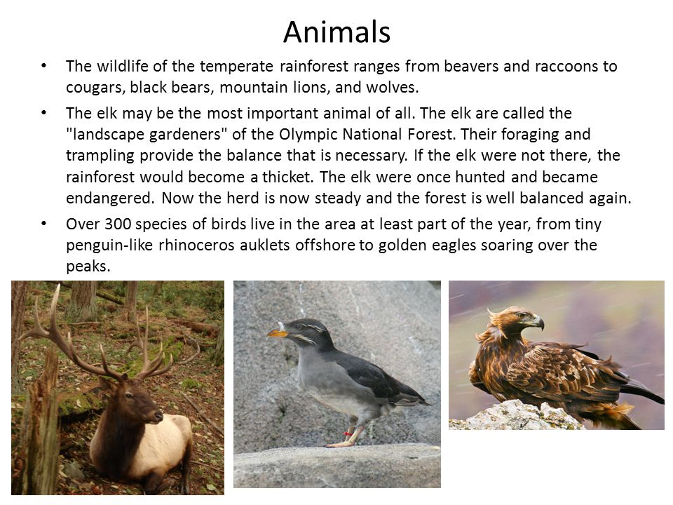 Animals The wildlife of the temperate rainforest ranges from beavers and raccoons to cougars, black bears, mountain lions, and wolves.