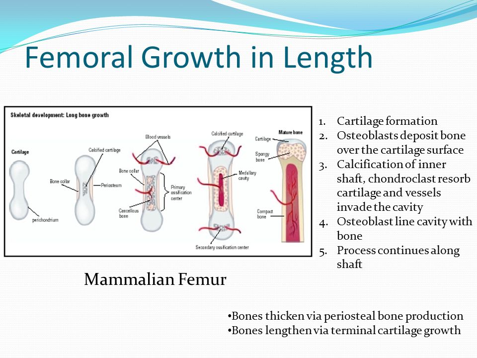 Femoral Growth in Length Mammalian Femur 1.Cartilage formation 2.Osteoblasts deposit bone over the cartilage surface 3.Calcification of inner shaft, chondroclast resorb cartilage and vessels invade the cavity 4.Osteoblast line cavity with bone 5.Process continues along shaft Bones thicken via periosteal bone production Bones lengthen via terminal cartilage growth