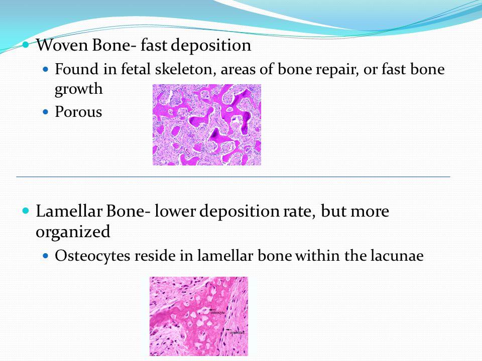 Woven Bone- fast deposition Found in fetal skeleton, areas of bone repair, or fast bone growth Porous Lamellar Bone- lower deposition rate, but more organized Osteocytes reside in lamellar bone within the lacunae