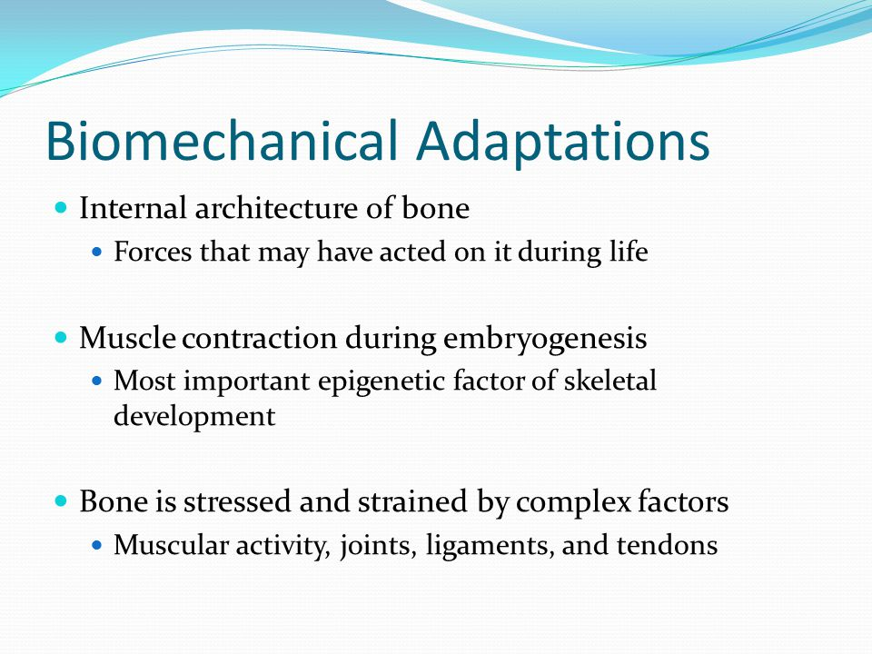 Biomechanical Adaptations Internal architecture of bone Forces that may have acted on it during life Muscle contraction during embryogenesis Most important epigenetic factor of skeletal development Bone is stressed and strained by complex factors Muscular activity, joints, ligaments, and tendons