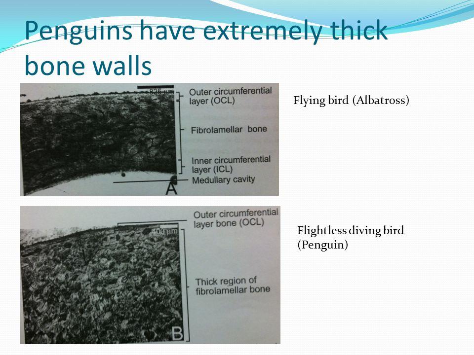 Penguins have extremely thick bone walls Flying bird (Albatross) Flightless diving bird (Penguin)