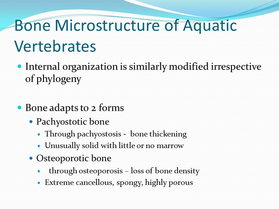 Bone Microstructure of Aquatic Vertebrates Internal organization is similarly modified irrespective of phylogeny Bone adapts to 2 forms Pachyostotic bone Through pachyostosis - bone thickening Unusually solid with little or no marrow Osteoporotic bone through osteoporosis – loss of bone density Extreme cancellous, spongy, highly porous