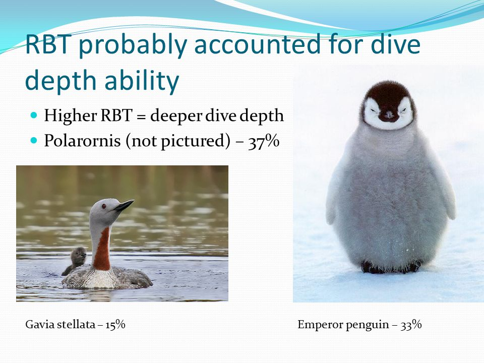 RBT probably accounted for dive depth ability Higher RBT = deeper dive depth Polarornis (not pictured) – 37% Gavia stellata – 15%Emperor penguin – 33%