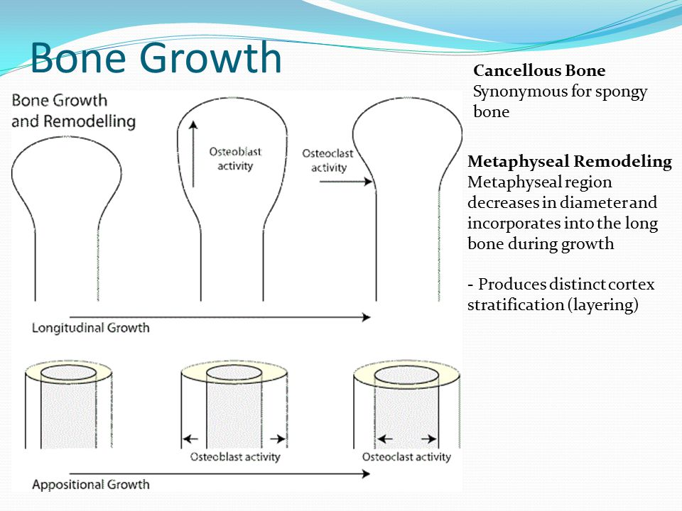 Bone Growth Metaphyseal Remodeling Metaphyseal region decreases in diameter and incorporates into the long bone during growth - Produces distinct cortex stratification (layering) Cancellous Bone Synonymous for spongy bone